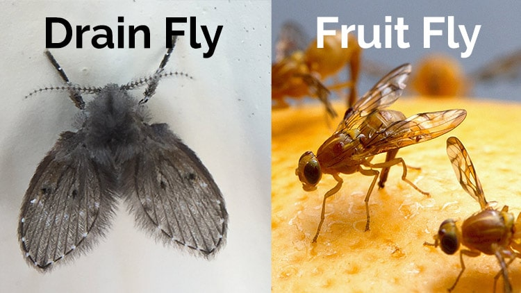 Drain fly vs fruit fly