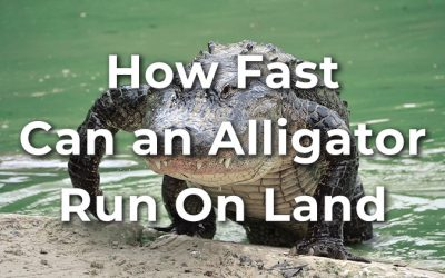 How Fast Can an Alligator Run on Land? (+Tips to Outrun It)