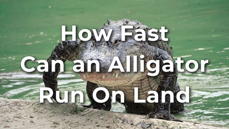 How fast can an alligator run on land