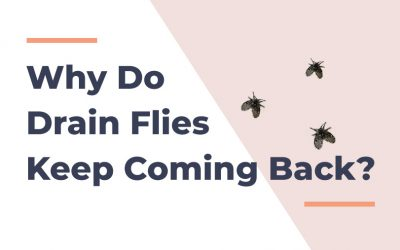 5 Reasons Why Drain Flies Keep Coming Back [And The Solution]
